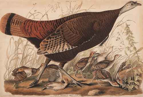 Audubon Double-Elephant Folio Hand-Colored Engraving, Great American Hen