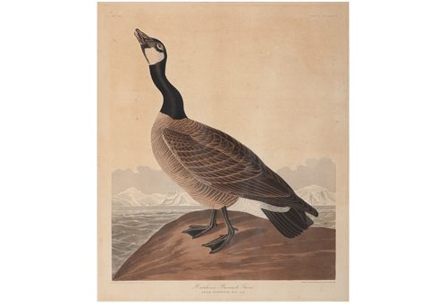 Audubon Hand-Colored Engraving, Hutchins's Barnacle Goose