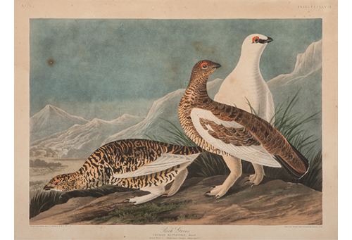 Audubon Hand-Colored Engraving, Rock Grous