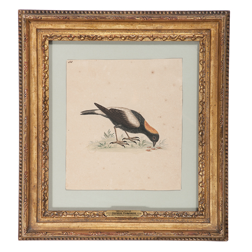 George Edwards, Watercolor of a Ricebird